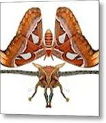 Atlas Moth5 Metal Print
