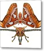 Atlas Moth7 Metal Print