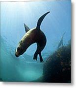 Australian Fur Seal  With Sun Burst Metal Print