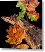 Autumn Oak Leaves And Acorns On Black Metal Print