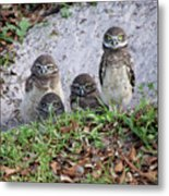 Baby Burrowing Owls Posing Metal Print
