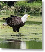 Bald Eagle's Look Metal Print