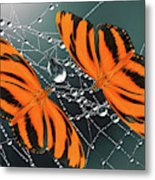 Banded Orange Butterfly. Metal Print
