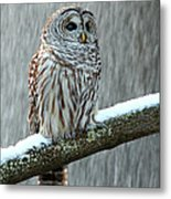 Barred Owl In The Snow Metal Print