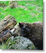 Bear Sleeping On A Rock. Metal Print