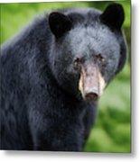 Bear Stare Metal Print