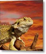 Bearded Dragon Pogona Vitticeps On Metal Print