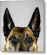 Belgian Sheperd Malinois Dog Looking At Metal Print