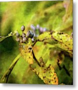 Berries And Aging Leaves 5709 Idp_2 Metal Print