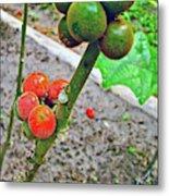Berries In Shaman's Garden In Amazon Jungle, Peru Metal Print