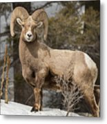 Bighorn Ram Feeding By Quake Lake Metal Print