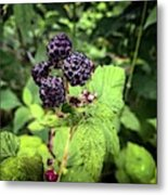 Black Raspberries  Metal Print