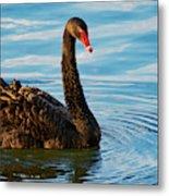 Black Swan Making Ripples  Metal Print