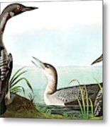 Black Throated Diver, Colymbus Arcticus By Audubon Metal Print
