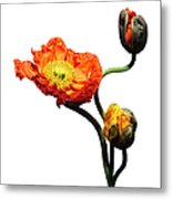 Blossoming Poppy Flowers On White Metal Print