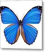 Blue Morpho Butterfly - Large Metal Print