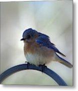 Bluebird Fluff Metal Print
