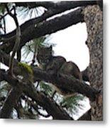 Bobcat Cat Bob In A Tree Metal Print