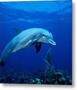 Bottlenose Dolphin,tursiops Metal Print