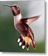 Broad Tailed Hummingbird Metal Print
