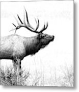 Bull Elk In Rut Metal Print