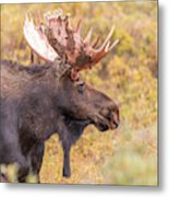 Bull Moose In Fall Colors Metal Print