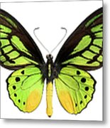 Butterfly Lepidoptera With Green, Black Metal Print
