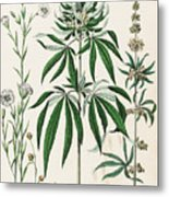 Cannabis Plant Illustration 1853 Metal Print
