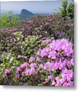 Catawba Rhododendron Table Rock  Metal Print