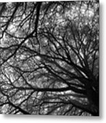 Cedars In The Mist Metal Print