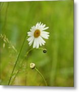 Chamomile Or Daisy? Metal Print
