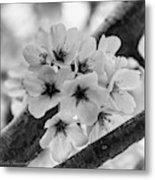 Cherry Blossoms 2019 E Metal Print