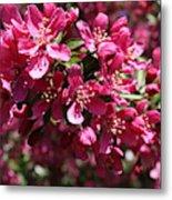 Cherry Blossoms 2019 IIi Metal Print