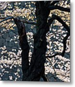 Cherry Blossoms At The Imperial Palace Metal Print