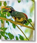 Chestnut-eared Araacari Metal Print
