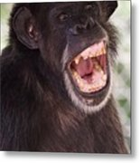 Chimp With Mouth Open Metal Print