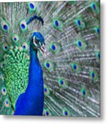 Close Up Of Beautiful Male Peacock With Metal Print