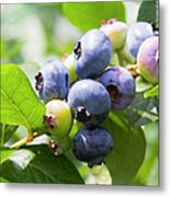 Close-up Of Blueberry Plant And Berries Metal Print