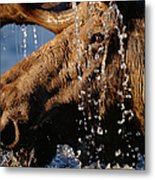 Close-up Of Bull Moose Alces Alces With Metal Print