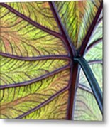 Close Up Of Colocasia Esculenta Leaf Metal Print