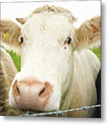 Close Up Of Cows Face Metal Print