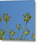 Close Up Of Fennel Flowers. On Sky Background Metal Print