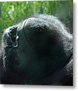 Close-up Of Frowning Adult Mountain Gorilla Metal Print