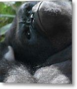 Close-up Shot Of Silverback Gorilla Making An Angry Face Metal Print