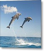Common Bottlenose Dolphins Tursiops Metal Print