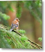 Common Chaffinch Fringilla Coelebs Metal Print