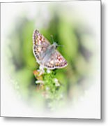 Common Checkered Skipper Butterfly  Metal Print