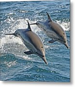 Common Dolphins Leaping Metal Print