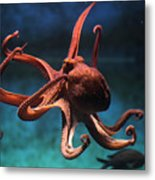 Common Octopus Octopus Vulgaris Metal Print
