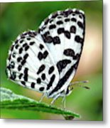 Common Pierrot Butterfly Metal Print